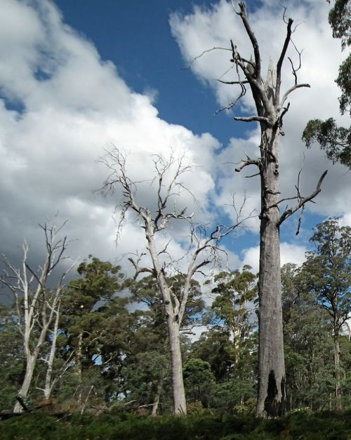 'Habitat trees' killed by the fire meant to regenerate the forest - sad irony!