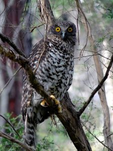 Powerful Owl (Image Duncan Fraser)