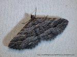 Chrysolarentia severata Finely-lined Carpet