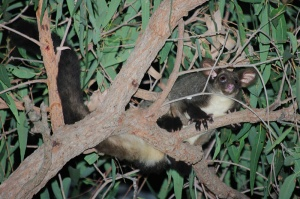 Greater Glider (Photo Deane Lewis)