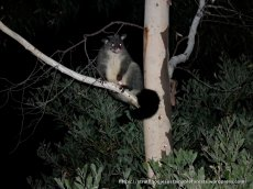 A local Mountain Brush-tail Possum, or Bobuck.