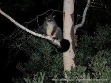 A local Mountain Brush-tail Possum, or Bobuck.