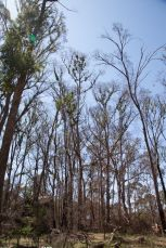 Large areas of the canopy were severely burnt and now trying to recover.
