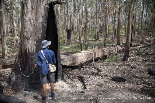 This Blue Gum, one of the largest trees measured at 1.7 m dbh, killed & felled by the burn.