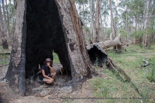 OMG! The largest living tree in the survey area (1.9 m dbh), burnt and felled by the burn!