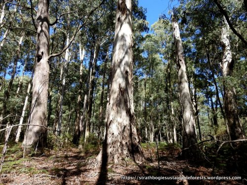 Old-growth trees in the vicinity of Mt Strathbogie.