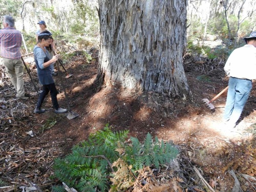 Volunteers rake breaks around old-growth trees vulnerable to fire.