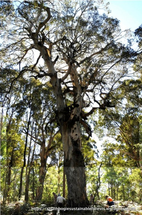 Serious old-growth Mountain Gum (Euc. dalrympleana), 2 m diameter at breast height. One of the biggest trees in the forest.