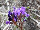 Native Sarsaparilla, Happy Wanderer, or even Purple Coral Pea - take your pick of these common names.