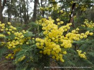 Silver Wattles were in full bloom.