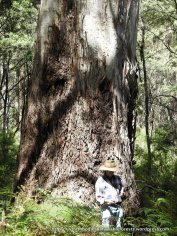 Mountain Gums, Eucalyptus dalrympleana, can grow to considerable size, this one about 2.4 m in diameter ...