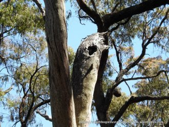 Dead trees are important resources - this is a Greater Glider den tree ...