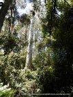 Some giant gums with hollows survive and are irreplaceable parts of the forest.