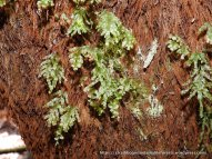 The epiphytic Bristle-ferns grow on tree-fern trunks where the sun never shines.