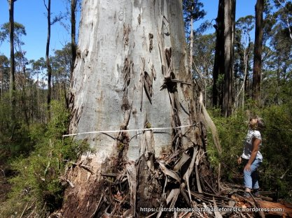 A 2.06 m dbh Mountain Gum, one of a handful of big habitat trees left in the coupe.