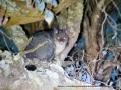 The Mountain Brushtail Possum, or Bobuck (Trichosurus cunninghami)