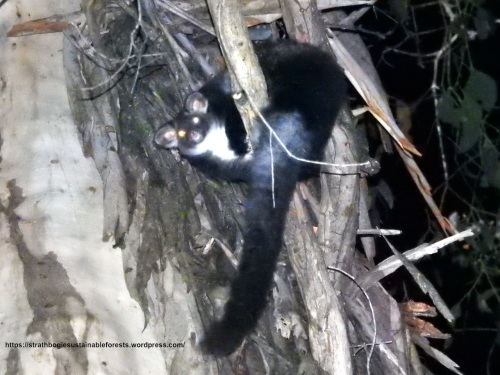 A Strathbogie Forest Greater Glider - threatened by fire and logging.