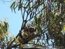 Koala DSCN0951