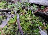 Moss DSCN9043