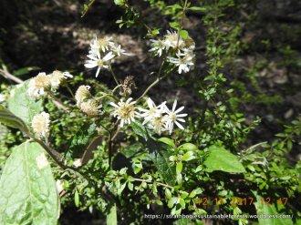 The last snowy daisy-bush flowers