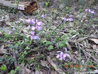 Pink Bells - a common treat in drier forest
