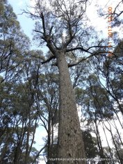 Handsome and healthy red stringybark forest