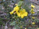 Showy guinea flower