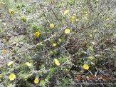 DSCN4079 Guinea Flower