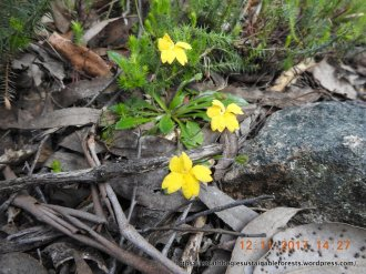 A small goodenia among the rocks