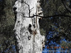 A large, standing hollow bearing tree - look on the trunk 1 m above the hollow.