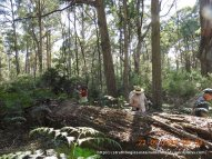 The large felled/fallen logs are a significant and important habitat element in this forest.