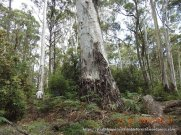 Mountain Gums that predate European arrivals
