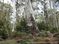 This ancient Mountain Gum dominates - suppressing the understorey below