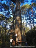 .. at 3.5 m dbh, one of the biggest olderst trees we've found anywhere in the forest!