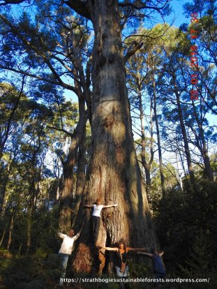 Ancient Messmate eucalypts of the biggest olderst trees we've found anywhere in the forest!