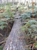 This massive log was felled, perhaps 50 years ago, and just left on the forest floor.
