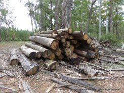 Logs left at Tolmie coup 5-1-17