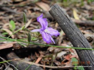 Common Fringe-lily (Thysanotus tuberosus)
