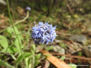 Blue Pincushion Flower (Brunonia australis)
